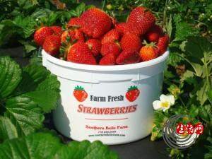 u-pick-strawberries-2