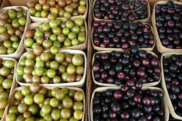 圆叶葡萄采摘季