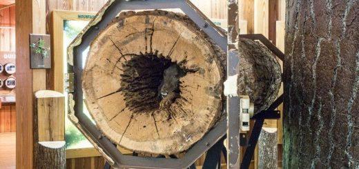 伐木工人砍树 惊见狗狗木乃伊 被困50年 原因很心酸