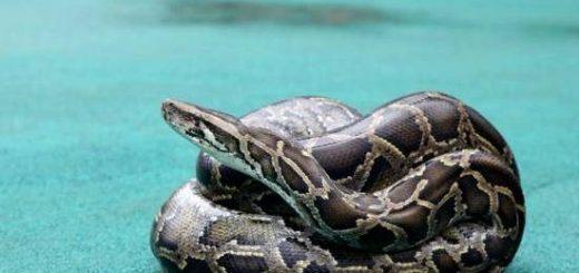 亚裔女子后院剃草失踪,竟是被蟒蛇活吞...