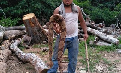 美国一林业工人发现硕大铜斑蛇令人瞠目