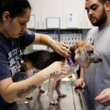 爱荷华州爆发犬类布鲁氏菌病 人可能会被传染